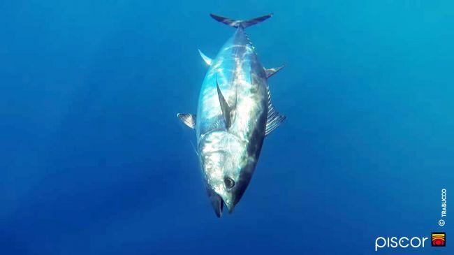 Atlantic Bluefin Tuna 8
