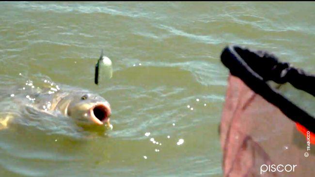Come pescare a Pellet Feeder nelle Fisheries 7