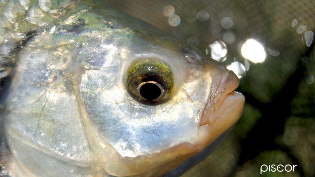Pesca alla Scardola 0